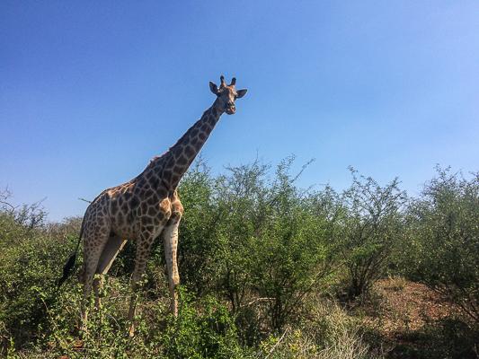 Giraffe. Kruger Park